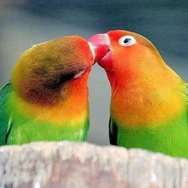 مواصفات و مميزات ببغاء الروز (طائر الحب)