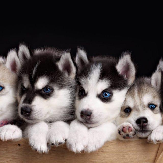 مواصفات و معلومات عن تربية كلاب الهاسكي Siberian Husky