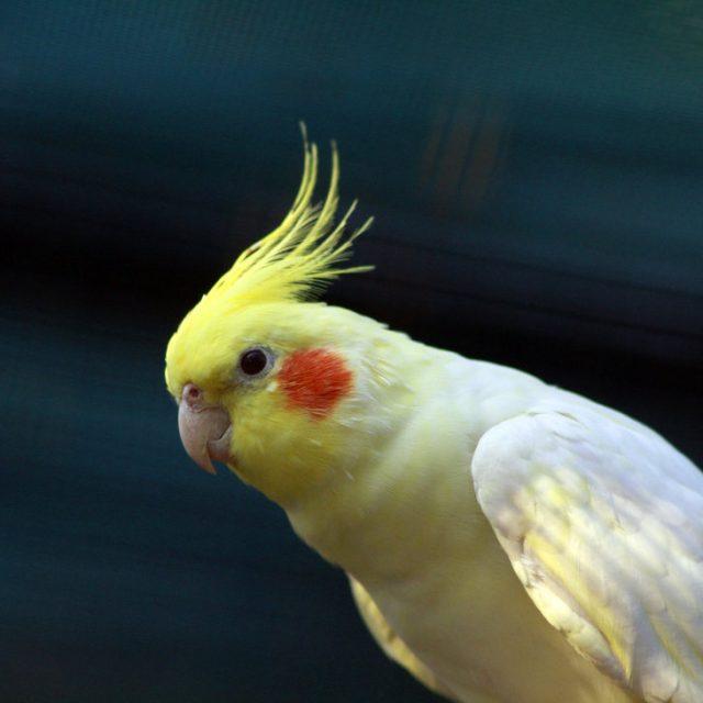 نصائح في تربية عصافير الزينة الكوكتيل المنزلية