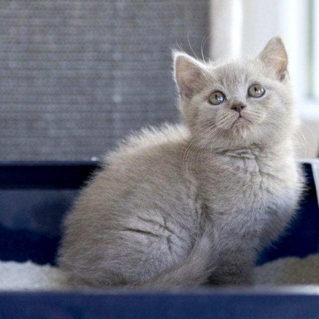 قطتي لا تدفن برازها : 7 عادات غريبة تفعلها القطط مع الليتر بوكس