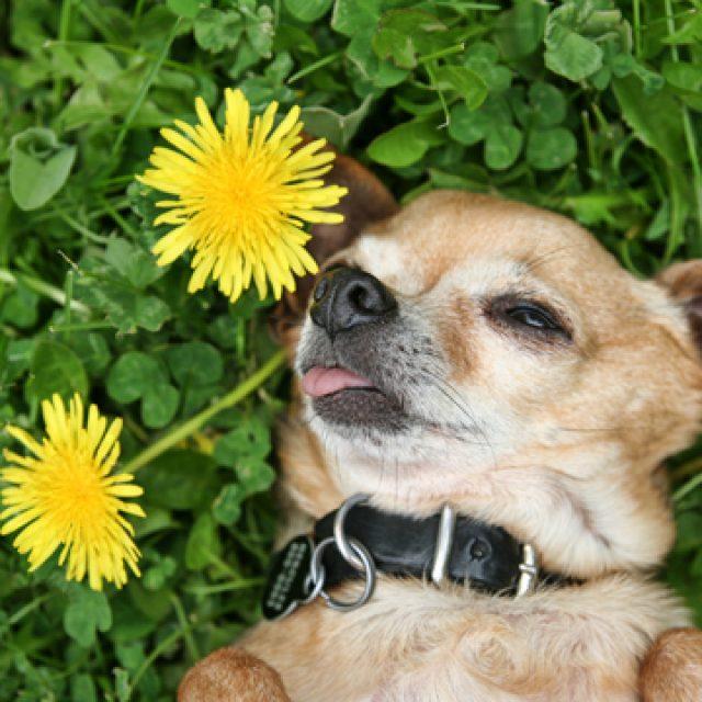 أشهر الأعشاب و النباتات السامة للكلاب