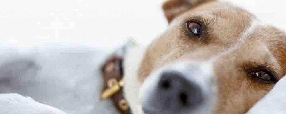 """صديد الرحم عند الكلاب """"البيومترا"""""""