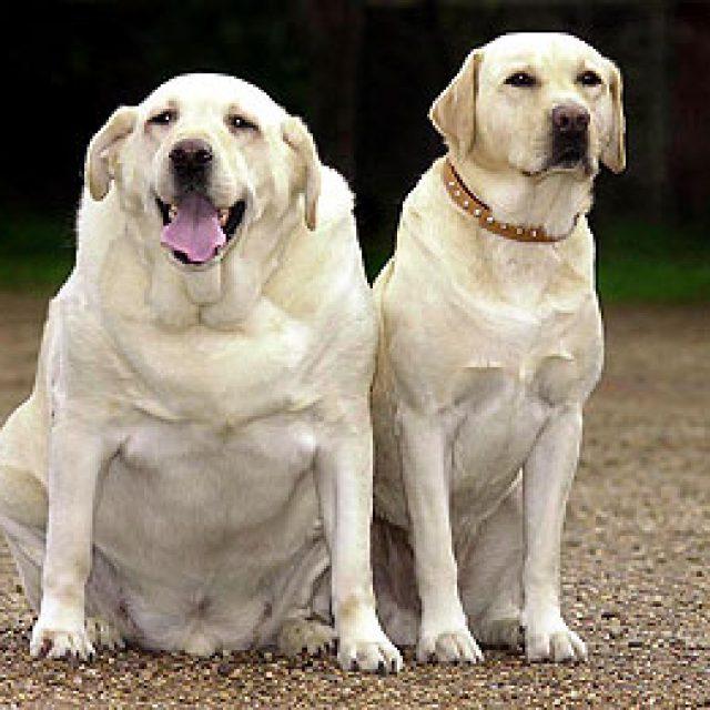 مخاطر السمنة في الكلاب