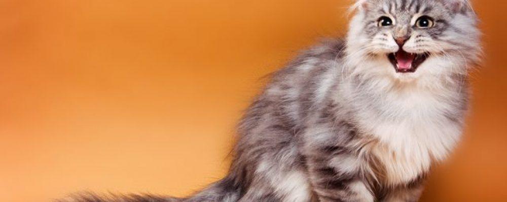 أصوات القطط ومعانيها