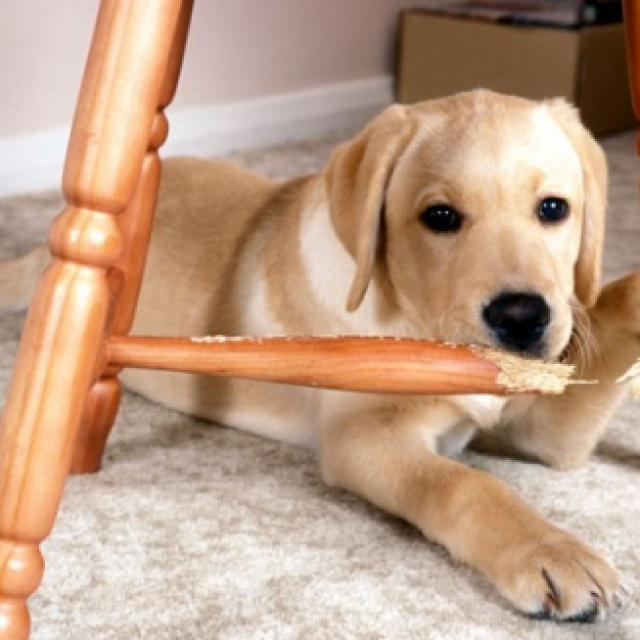نصائح لمنع الكلاب من مضغ الأحذية والأثاث