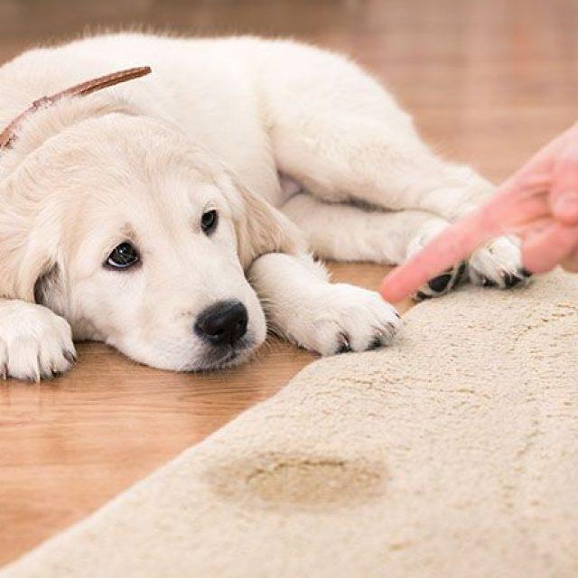 التبول اللاإرادي عند الكلاب أثناء الخوف أو السعادة