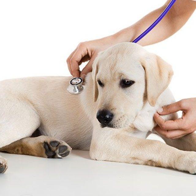 معلومات هامة عن القئ المزمن في الكلاب