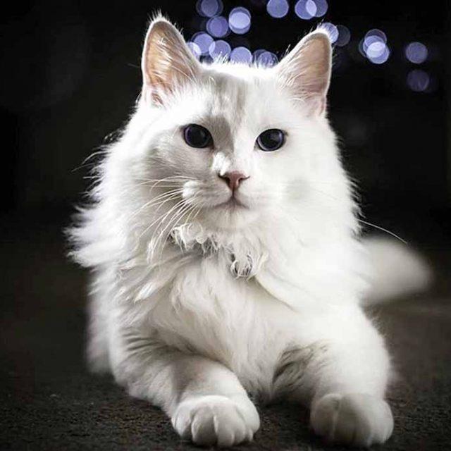 قطط انجورا التركية .. راقص البالية ناصع البياض