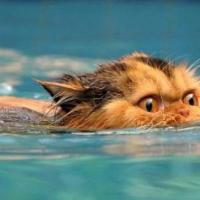 تعرف على سلالات القطط التي تحب اللعب بالماء