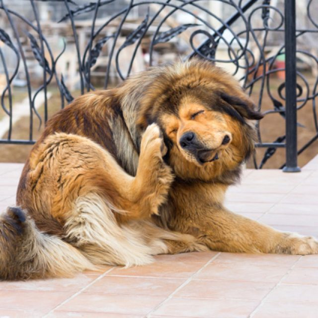 علاج القراد عند الكلاب الصغيرة والكبيرة بالتفصيل : علاج نهائي للقراد