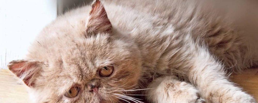 أعراض وعلاج فيروس الهربس عند القطط FHV-1