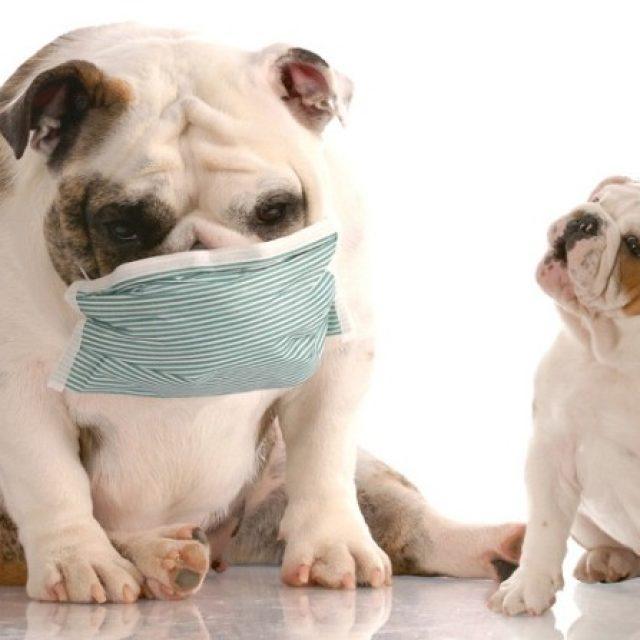 الكحة في الكلاب Kennel Cough In Dogs