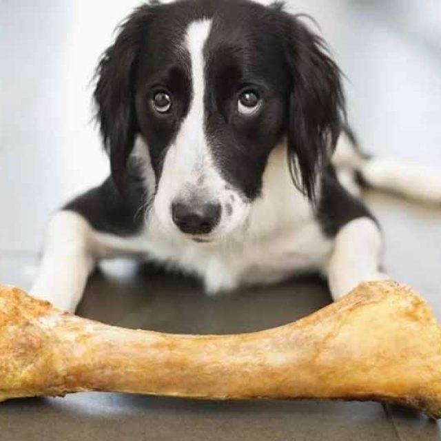 هل اكل العظام مضر للكلاب