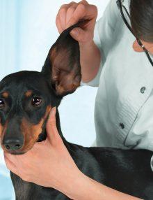 التهاب الاذن عند الكلاب : الأعراض والعلاج