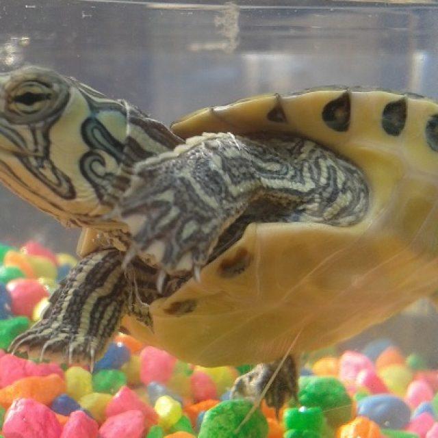 أمراض السلاحف البرمائية