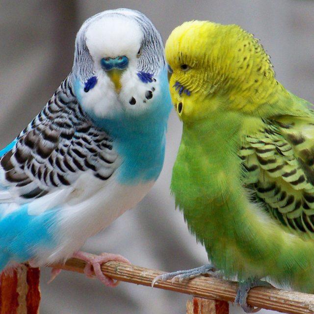 مواصفات العصافير الاسترالى (طائرالبادجي)