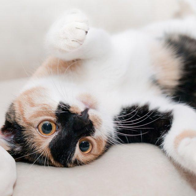 تصرفات القطط ومعانيها : سلوكيات القطط الشيرازى وتفسيرها