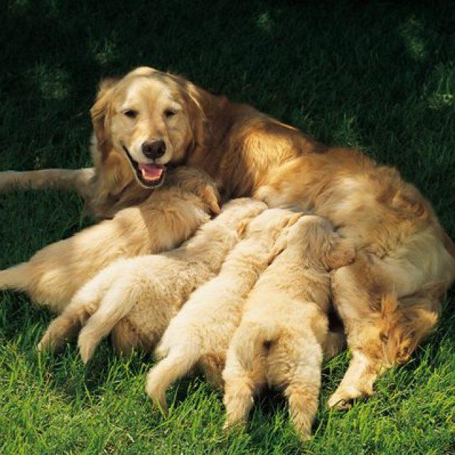 فيروس الهربس في الكلاب – Canine Herpes Virus