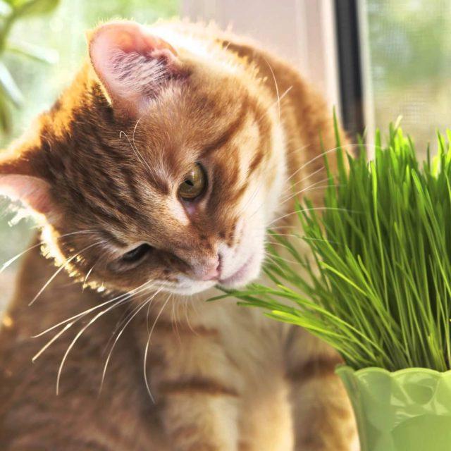 لماذا تأكل القطط العشب : 3 أسباب