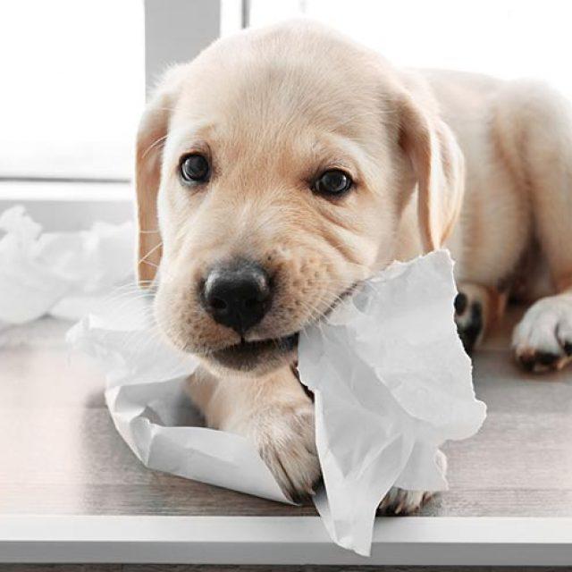 لماذا تأكل الكلاب المناديل الورقية والأوراق ؟