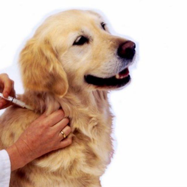 تطعيمات الكلاب و مواعيدها – دليلك الشامل في تطعيم الكلاب