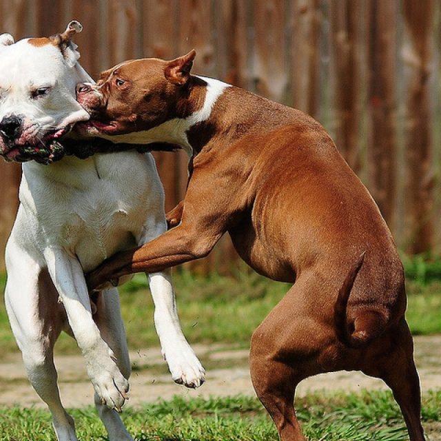 كيفية فض عراك الكلاب وقتالهم بأمان ؟
