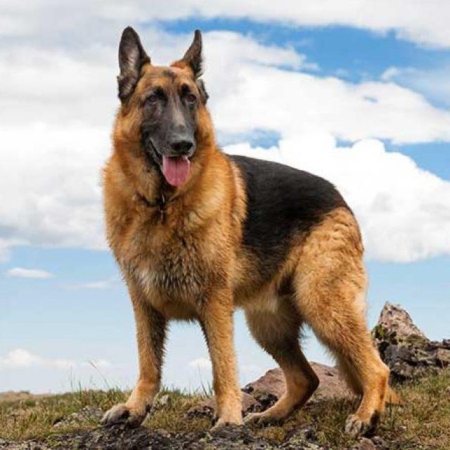 أمراض كلاب جيرمن شيبرد : أشهر ثلاثة أمراض جينية تصيب سلالة الراعي الألماني