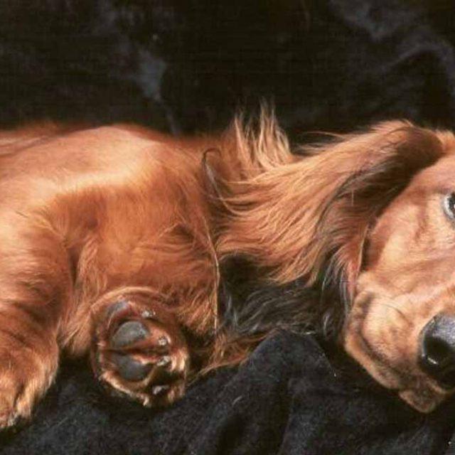 ما هي مدة حمل الكلاب ؟