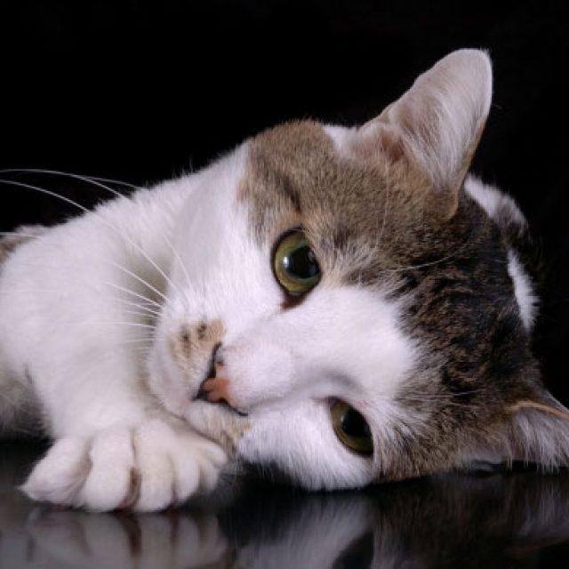 9 علامات تدل أن قطتك مصابة بمرض السكر