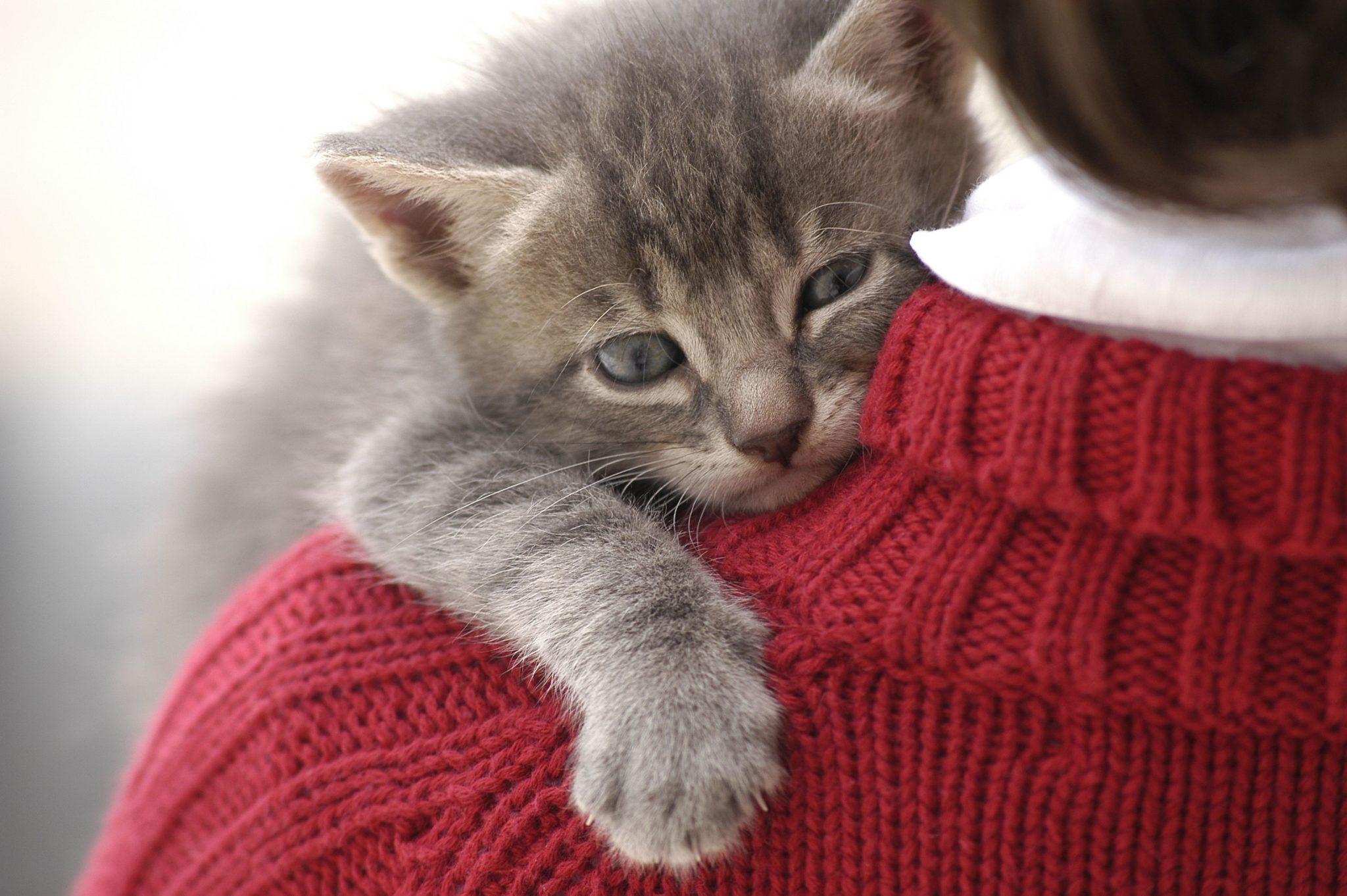 أنواع القطط المنزلية الأليفة التي تحب البشر بالصور دليل العيادات البيطرية دكتور بيطري بين يديك