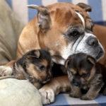 لماذا تأكل الكلبة أولادها ؟ المشاكل السلوكية في الكلاب بعد الولادة