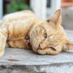 أعراض فيروس كورونا عند القطط
