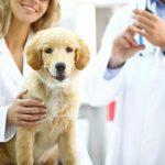 تطعيم الكلب الحامل والادوية المسموح بها في فترة حمل الكلاب