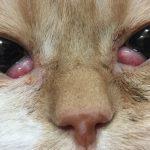 الجفن الثالث في القطط بروز واحمرار الجفن Cherry Eye