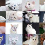 أنواع القطط البيضاء بالصور 15 نوع هل تعرفهم