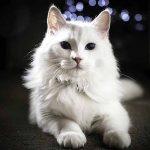 قطط انجورا التركية راقص البالية ناصع البياض