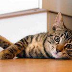 علاج زيادة نشاط الغدة الدرقية عند القطط