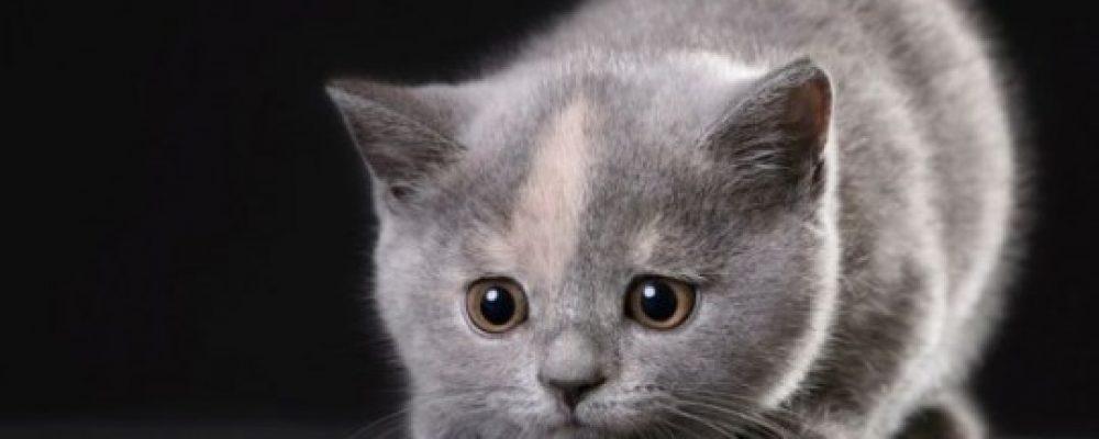 أنفلونزا القطط أعراض البرد عند القطط وعلاجها دليل العيادات البيطرية دكتور بيطري بين يديك