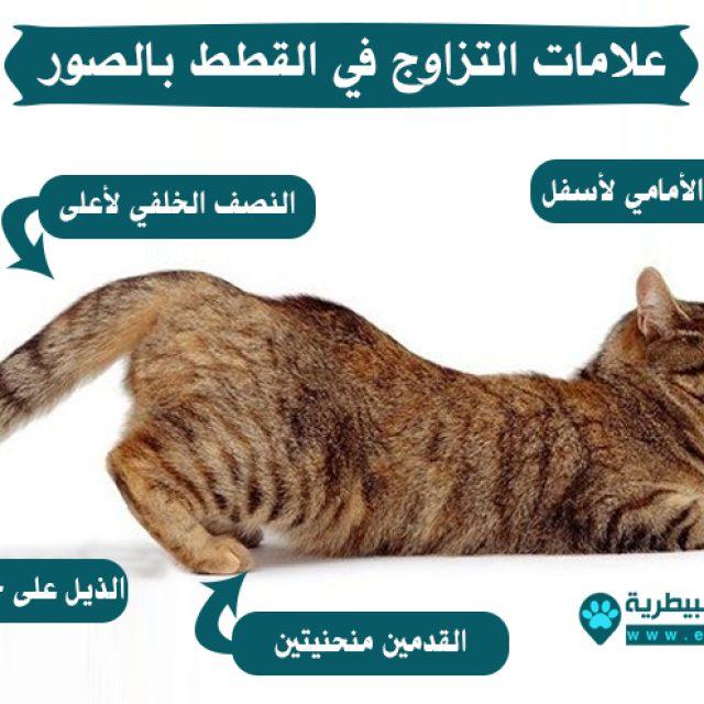معلومات عن تزاوج القطط بالصور دليل العيادات البيطرية دكتور بيطري بين يديك