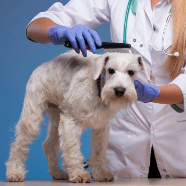 طرق القضاء على براغيث الكلاب