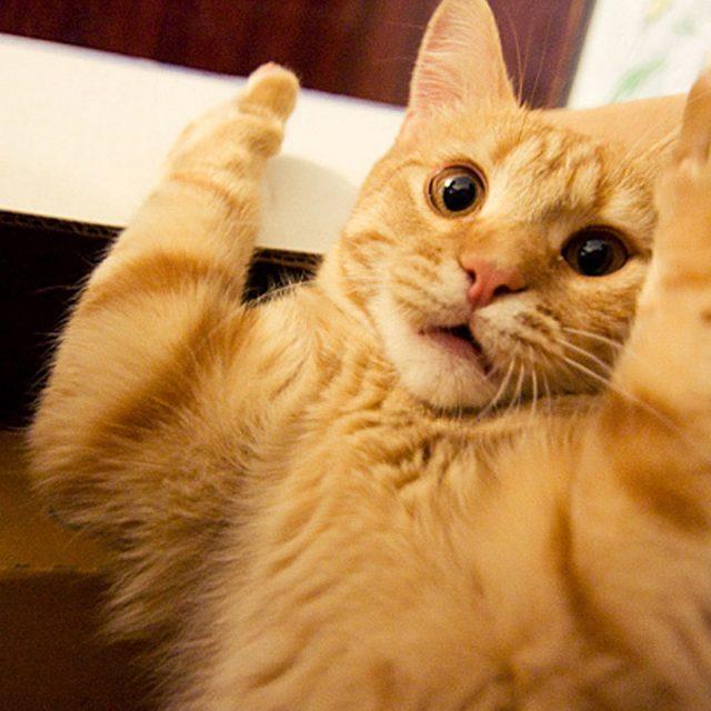 سلالات القطط التي تحب السرقة .. تعرف عليها