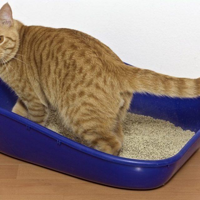 كيفية تدريب القطط على الليتر بوكس