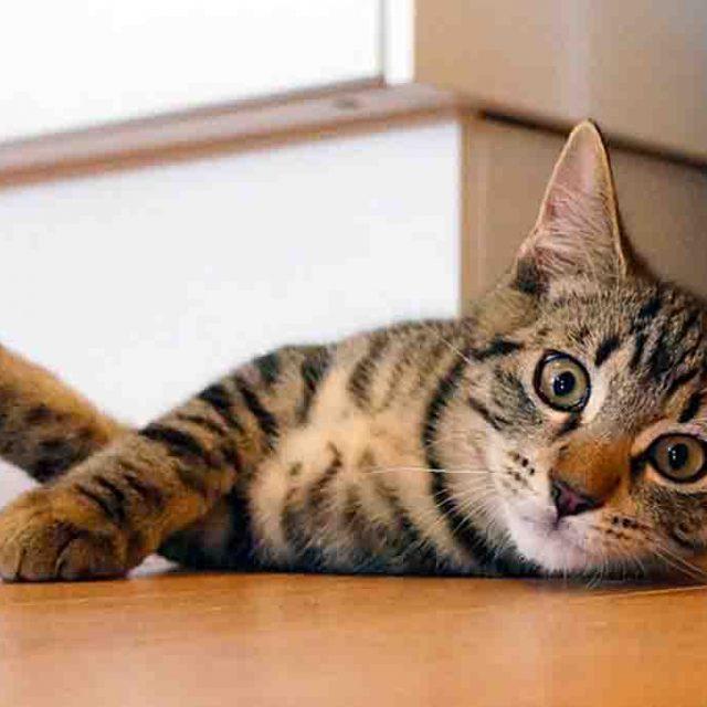 علاج زيادة نشاط الغدة الدرقية عند القطط (دليل شامل)