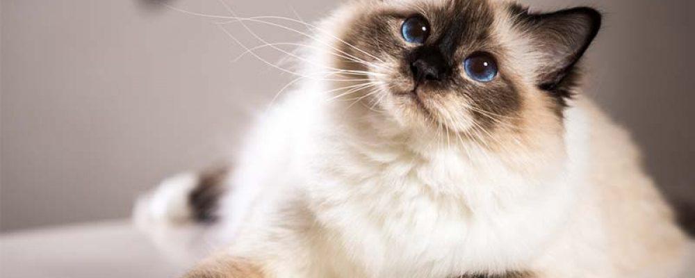 معلومات عن سلالة قط بيرمان Birman Cat