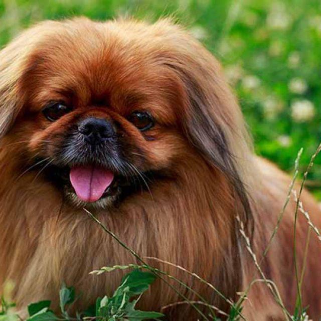 مواصفات كلب بيكنواه رفيق النبلاء والملوك