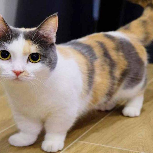 قط مونتشكين .. القط ذو الأقدام القصيرة