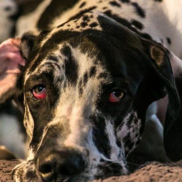 ماذا افعل إذا لاحظت احمرار عين الكلب ؟