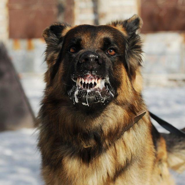 مرض السعار في الكلاب وكيفية الوقاية والعلاج