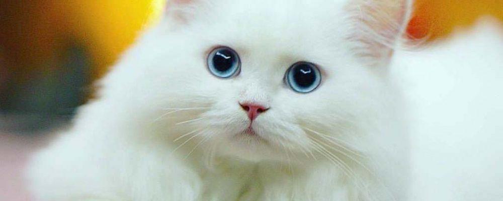 طرق العناية بالقطط البيضاء والاهتمام بها