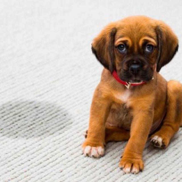 كيفية القضاء على رائحة بول الكلاب من السجاد والأثاث